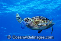 Green Sea Turtle feeding on Jellyfish image