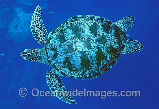Green Sea Turtle (Chelonia mydas). Great Barrier Reef, Queensland, Australia. Found in tropical and warm temperate seas worldwide. Listed on the IUCN Red list as Endangered species.