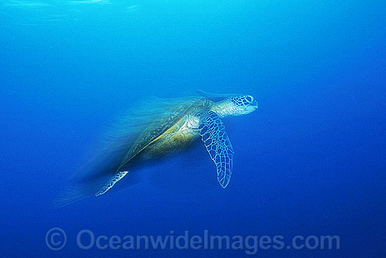 Green Sea Turtle (Chelonia mydas) 'racing'. Great Barrier Reef, Queensland, Australia. Found in tropical and warm temperate seas worldwide. Listed on the IUCN Red list as Endangered species. Photo - Gary Bell