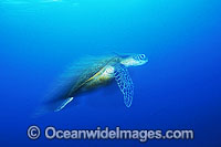 Green Sea Turtle Chelonia mydas swimming