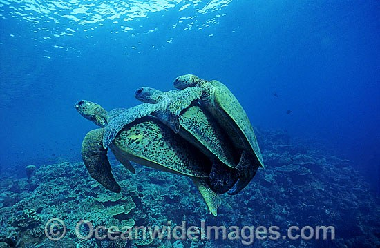 Mating Green Sea Turtles (Chelonia mydas) with secondary male. Great Barrier Reef, Queensland, Australia. Endangered species.