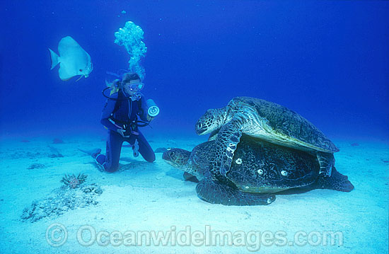 Mating Green Sea Turtles (Chelonia mydas) with Scuba Diver. Great Barrier Reef, Queensland, Australia. Found in tropical and warm temperate seas worldwide. Listed on the IUCN Red list as Endangered species. Photo - Gary Bell
