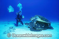 Mating Green Sea Turtles Scuba Diver