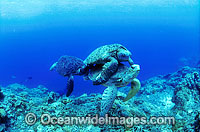 Mating Green Sea Turtles Photo - Gary Bell
