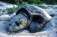 Nesting female Loggerhead Sea Turtle Photo - Gary Bell