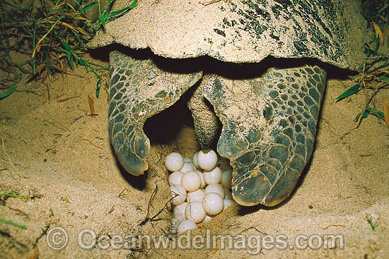 Nesting female Green Sea Turtle (Chelonia mydas) depositing eggs during annual breeding season. Heron Island, Great Barrier Reef, Queensland, Australia. Found in tropical and warm temperate seas worldwide. Endangered species on the IUCN Red list. Photo - Gary Bell