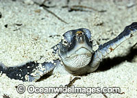 Green Sea Turtle hatchling emerging Photo - Gary Bell
