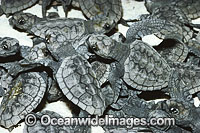 Loggerhead Turtle hatchlings emerging photo