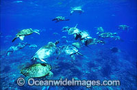 Unusual aggregation of Green Sea Turtles