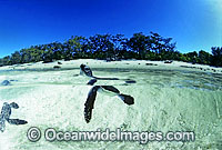Green Sea Turtle hatchling image