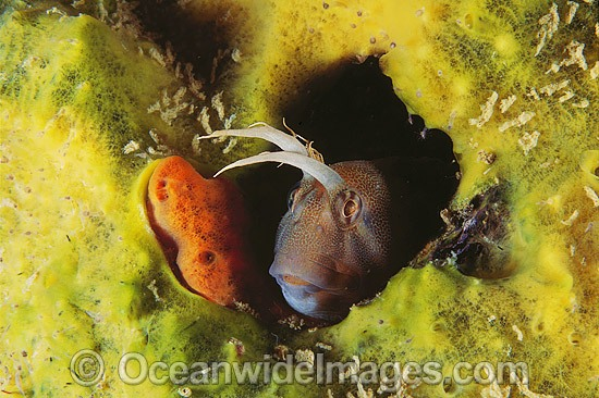Tasmanian Blenny photo