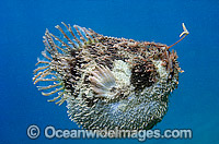 Tasselled Anglerfish Rhycherus filamentosus Photo - Gary Bell