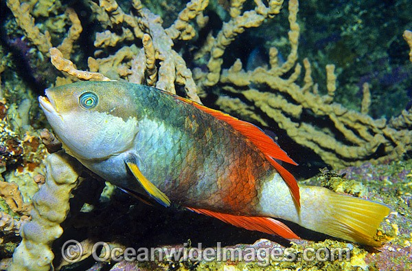 Crimson-banded Wrasse (Notolabrus gymnogenis) - male. Bermagui, New South Wales, Australia Photo - Gary Bell