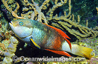 Crimson-banded Wrasse (Notolabrus gymnogenis) - male. Bermagui, New South Wales, Australia Photo: Gary Bell
