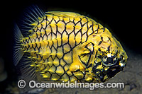 Pineapplefish Cleidopus gloriamaris