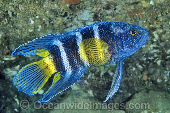 Eastern Blue Devilfish (Paraplesiops bleekeri). Coffs Harbour, New South Wales, Australia Photo - Gary Bell