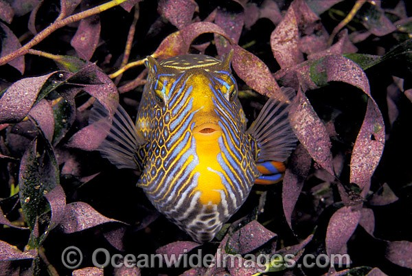 Ornate Cowfish (Aracana ornata) - male in sea grass. Also known as Boxfish. Western Port Bay, Victoria, Australia