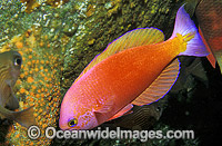 Splended Perch Callanthias australis