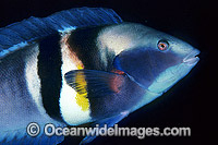 King Wrasse Coris sandageri Photo - Gary Bell