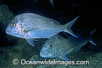 Snapper Pagrus auratus Photo - Gary Bell