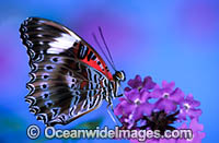 Red Lacewing Butterfly Cethosia biblis Photo - Gary Bell