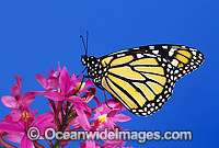 Monarch Butterfly Danaus plexippus Photo - Gary Bell