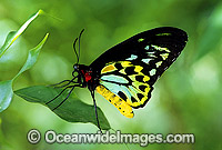 Birdwing Butterfly Photo - Gary Bell