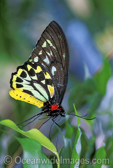 Cairns Birdwing Butterfly (Ornithoptera priamus) - male. Cairns, North Queensland, Australia Photo - Gary Bell