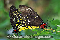 Cairns Birdwing Butterflies mating Photo - Gary Bell