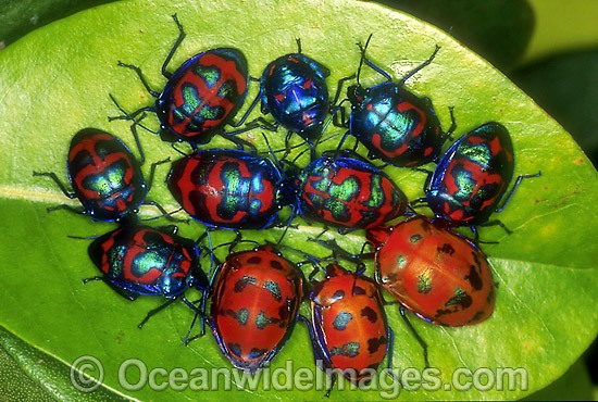 Cluster of Harlequin Bugs (Tectocoris diophthalmus). Coffs Harbour, New South Wales, Australia Photo - Gary Bell