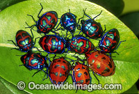 Cluster of Harlequin Bugs Photo - Gary Bell