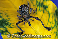 Curculion Weevil Leptopius quadridens Photo - Gary Bell