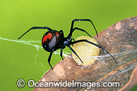 Red-back Spider with egg case Photo - Gary Bell