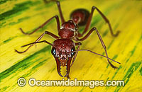 Bull Ant Myrmecia nigrocincta photo