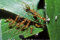 Green Tree Ants Oecophylla smaragdina photo