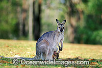 Mainland Red-necked Wallaby Macropus banksianus Photo - Gary Bell