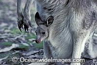 Eastern Grey Kangaroo joey in pouch Photo - Gary Bell