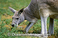Red Kangaroo grazing Photo - Gary Bell