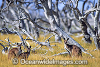 Western Grey Kangaroo Photo - Gary Bell