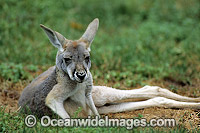 Red Kangaroo joey Photo - Gary Bell