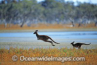 Western Grey Kangaroos hopping Photo - Gary Bell