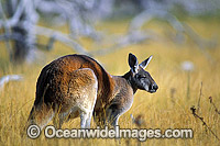 Red Kangaroo Macropus rufus Photo - Gary Bell