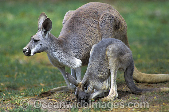 Red Kangaroo (Macropus rufus) - mother with joey. Photo taken at Kinchega National Park, Western New South Wales, Australia Photo - Gary Bell