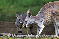 Red Kangaroo mother with joey Photo - Gary Bell