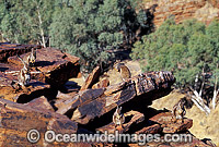 Black-footed Rock Wallaby Petrogale lateralis photo