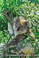 Koala Phascolarctos cinereus photo