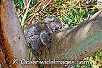 Koala sleeping photo