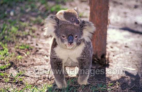 Koala mother with baby