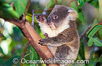 Baby Koala in gum tree photo