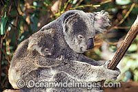 Koala mother with baby photo